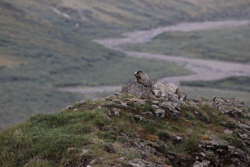 Caligata del Marmota de la marmota canosa fotos de archivo