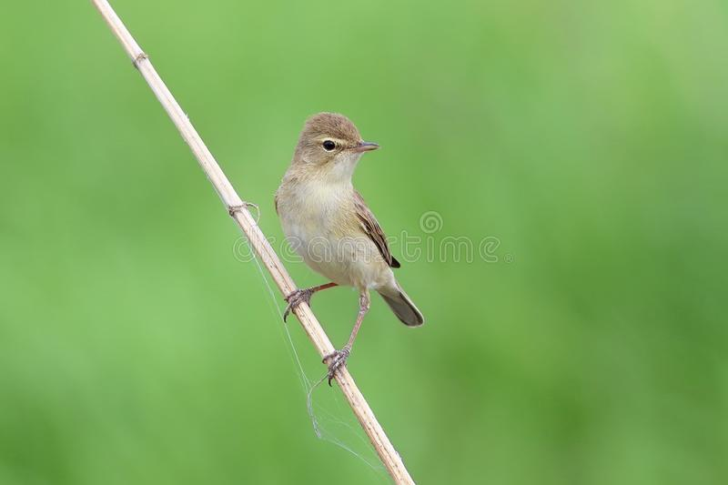 Caligata Iduna Booted певчая птица сидела вниз на сухой ветви стоковое фото rf