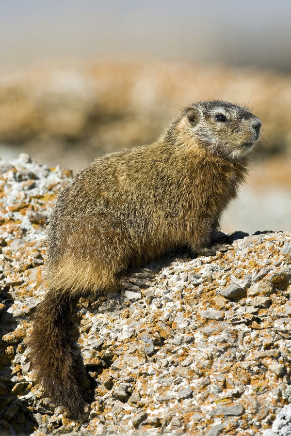 caligata marmota rockchuck zdjęcie stock