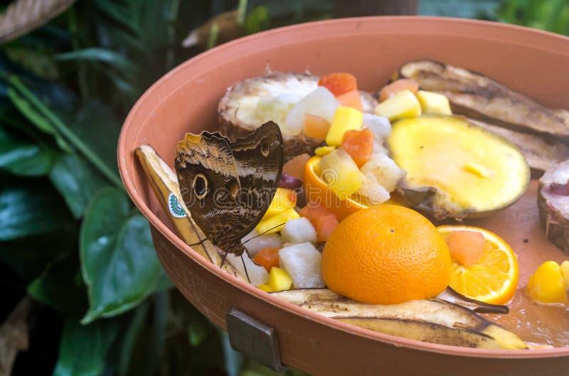 Caligo-atreus, die gelb-umrandete riesige Eule, Früchte essend, ventrale Ansicht Eulenschmetterlinge, die Klasse Caligo-Dunkelhei lizenzfreie stockfotografie