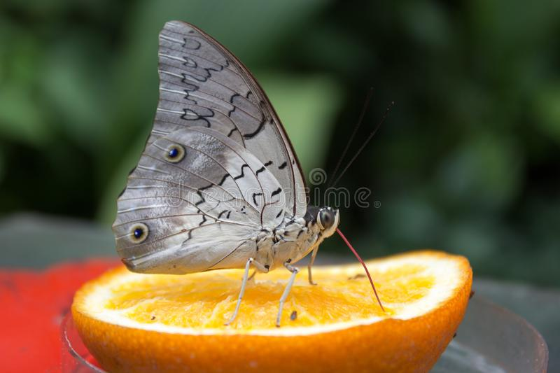 Caligo atreus sucks nectar from orange royalty free stock images
