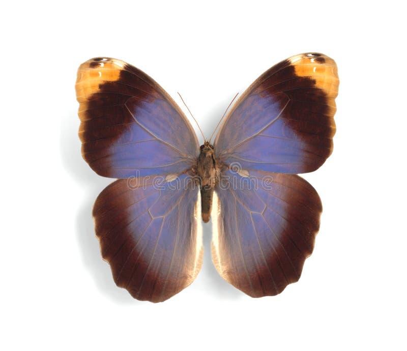 Download Caligo beltrao stock image. Image of birdwing, biology - 10442737