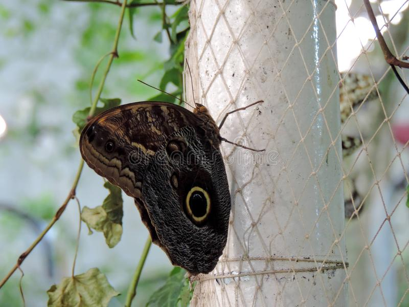 Caligo Eurilochus butterfly inside the Dubai Butterfly Garden royalty free stock image