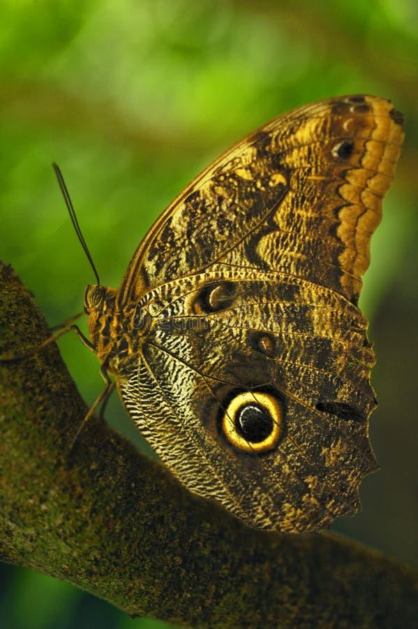 Caligo eurilochus motyl, także znać jako lasowa gigantyczna sowa, odpoczywa na gałąź sowa, zdjęcia stock