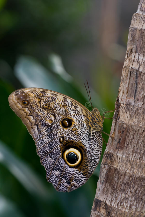 Caligo memnon royalty free stock photography