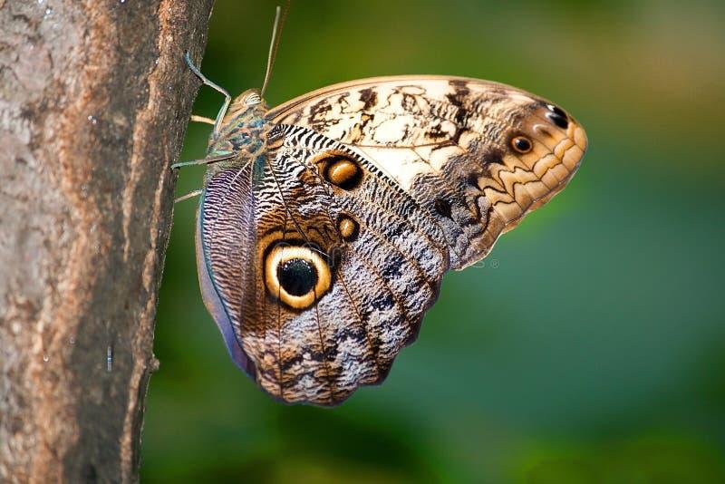 Caligo Memnon butterfly on a tree stock photos