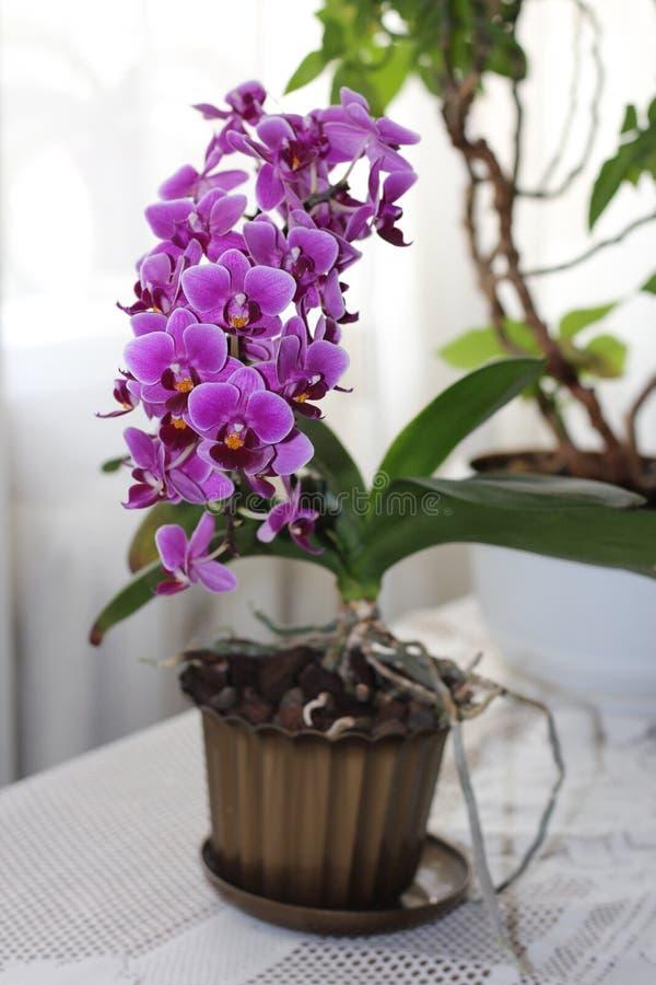 Calimero roxo do Phalaenopsis, uma orquídea do anão foto de stock royalty free