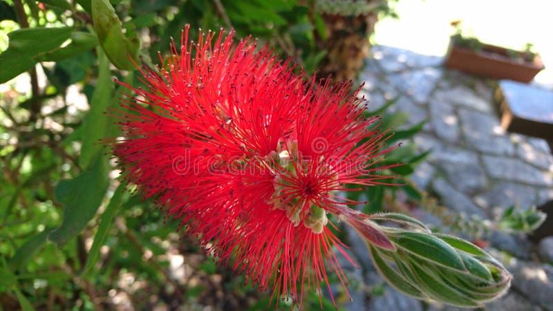 Calistemo Rode bloem stock afbeeldingen