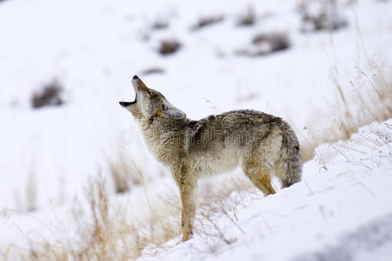 Call of the Coyote royalty free stock photos