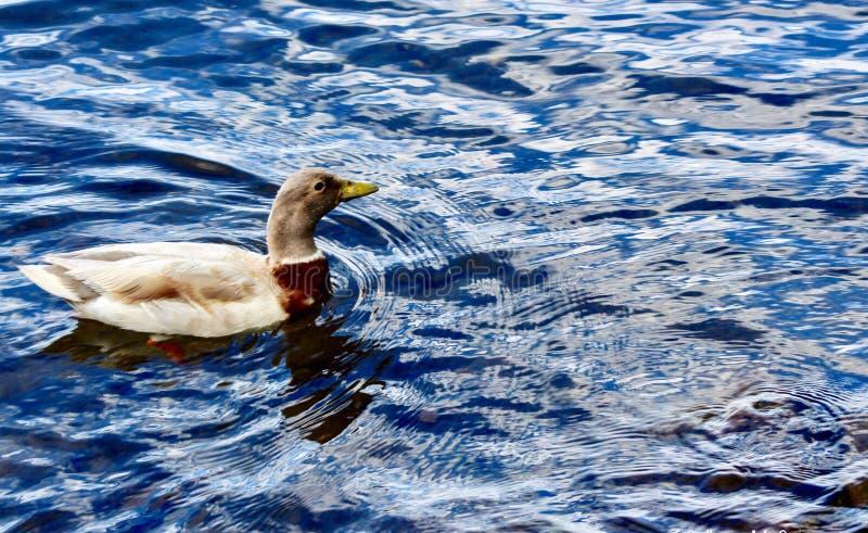 Call Duck royalty free stock photos