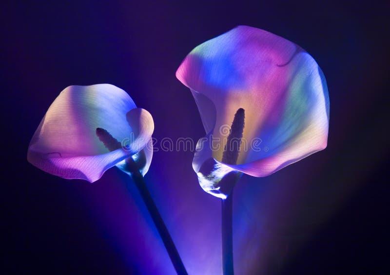 calla κρίνος στοκ εικόνες με δικαίωμα ελεύθερης χρήσης