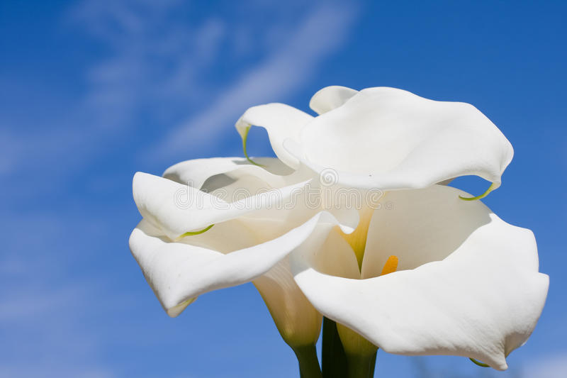 Download Calla Stock Images - Image: 14692944