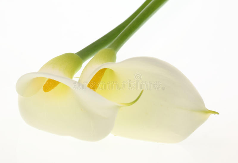 Download Calla stock photo. Image of shot, studio, spring, nobody - 37573872