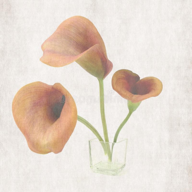 calla stock illustrationer