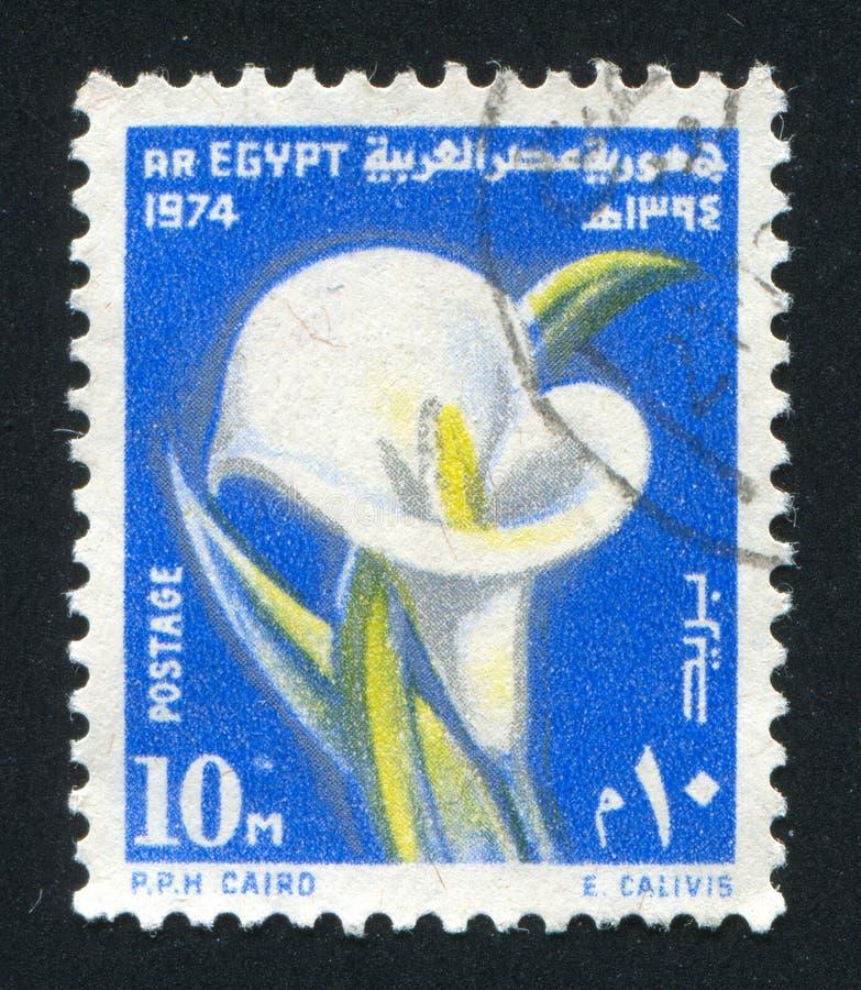 Calla bloem stock afbeelding