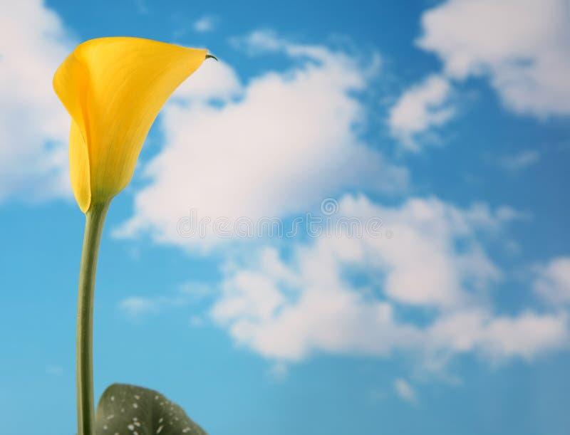 Calla de Yello lilly images libres de droits