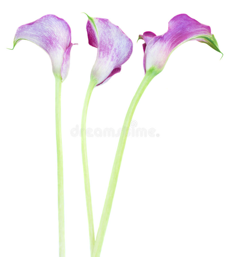 Calla drie lilly royalty-vrije stock afbeelding
