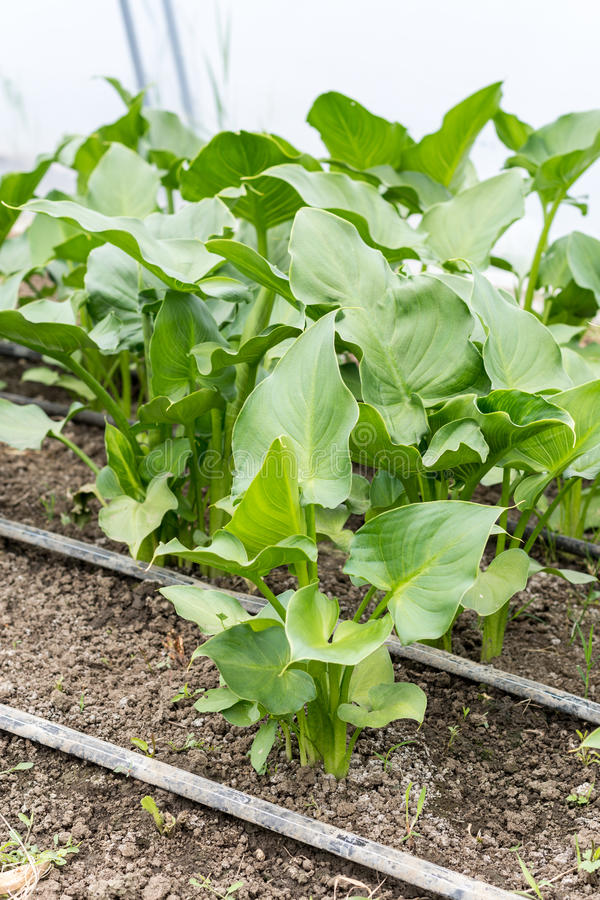 Calla flower leaf greenhouse stock images