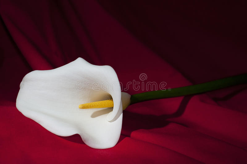 Calla flower on red background stock photo