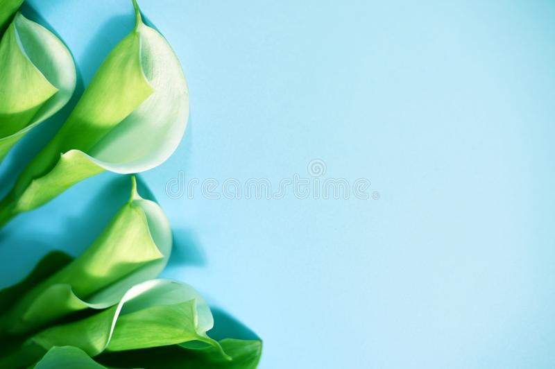 Calla flowers close up stock photo