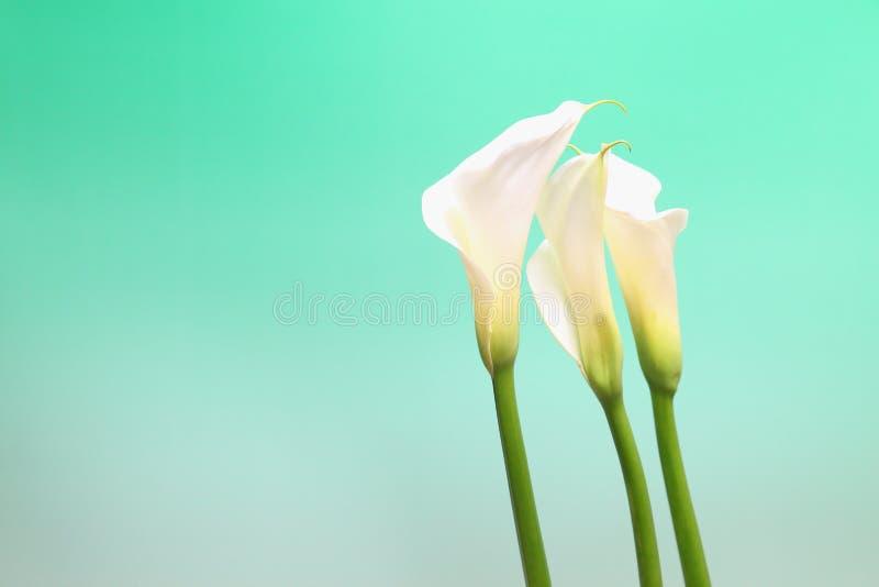 Calla in a green Gradation. Pictured calla in a green Gradation stock images