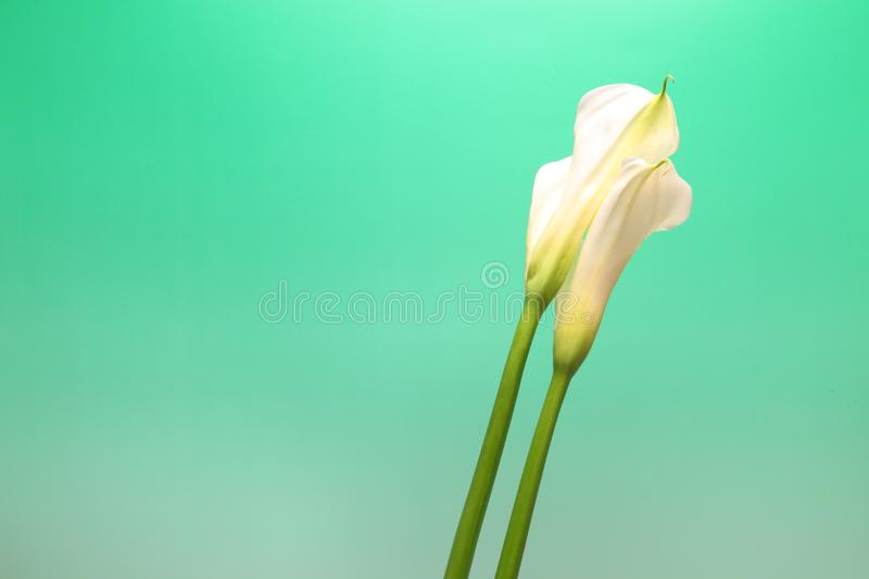 Calla in a green Gradation. Pictured calla in a green gradation royalty free stock images
