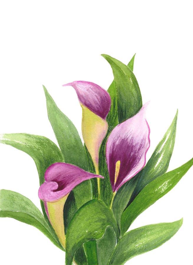 Calla isolata su fondo bianco Illustrazione dell'acquerello del mazzo Fiori e foglie verdi porpora Realistico botanico illustrazione di stock