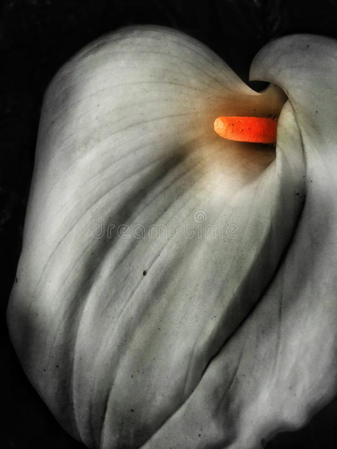 Calla-Lilie sinnlich stockbild