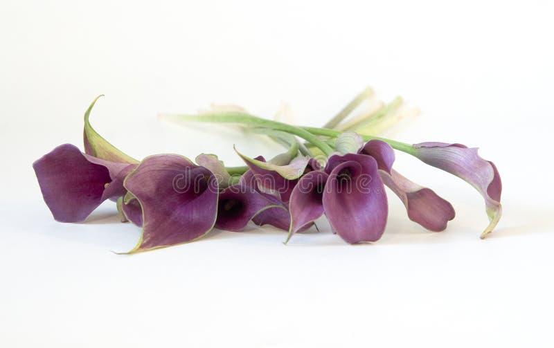 Calla-Lilien stockfoto