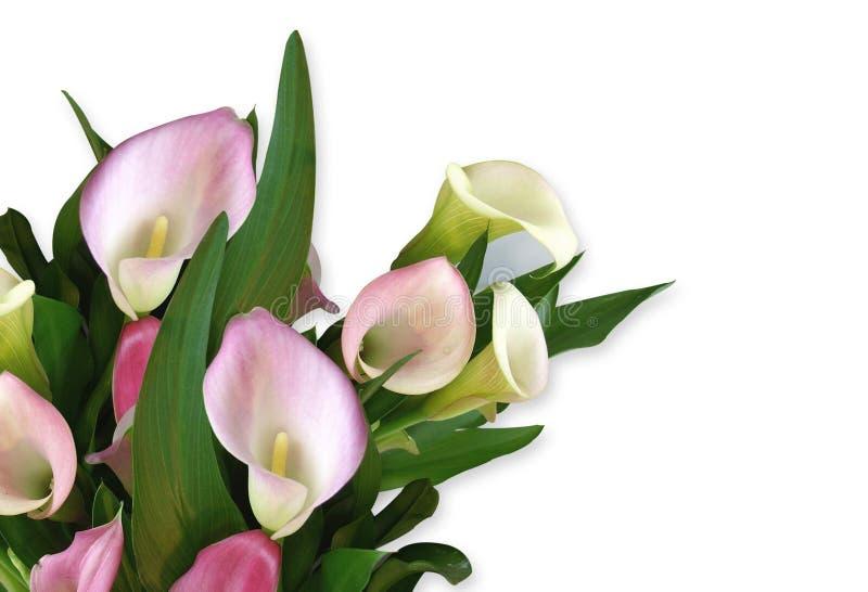 Calla-Lilienrosafarbene Eckauslegung lizenzfreie abbildung