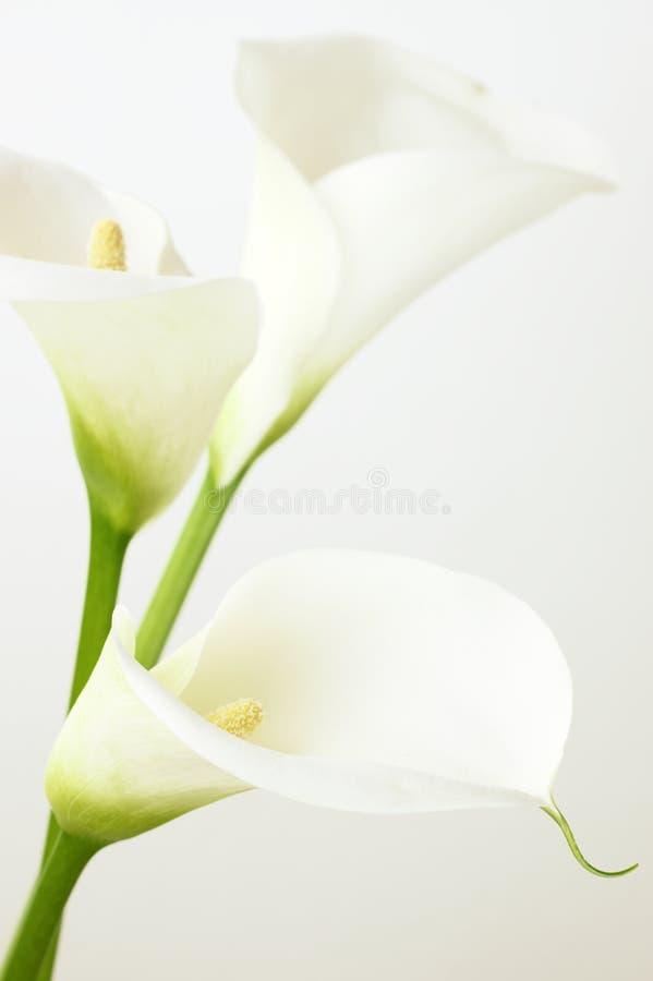 Download Calla lilies stock photo. Image of nobody, elegant, blossom - 39512972