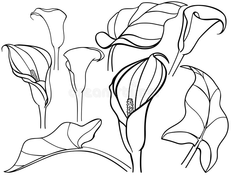 Calla lilja Callas med sidor i olika vinklar Konstruktör mallar, uppsättning Botanisk illustration Linje teckning För colori vektor illustrationer