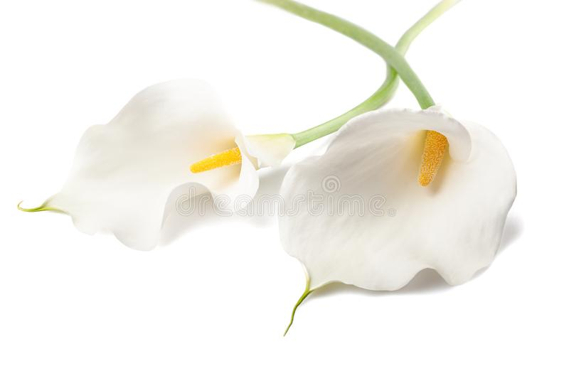 Calla lillies stock photography