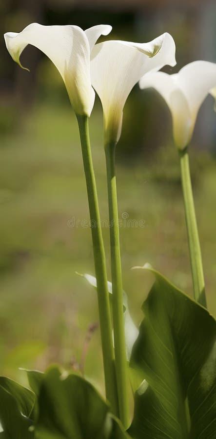 Calla Lilly в цветени стоковые изображения rf