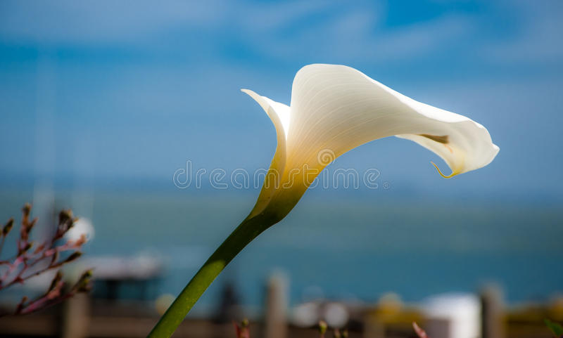 Calla lilly royalty free stock photography