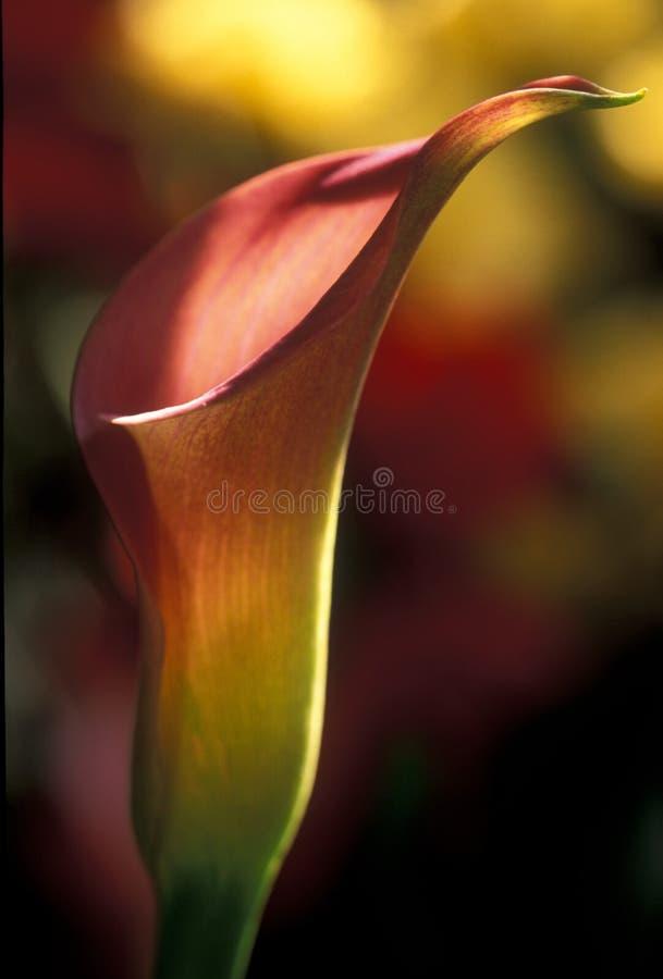 calla lilly en arkivfoton