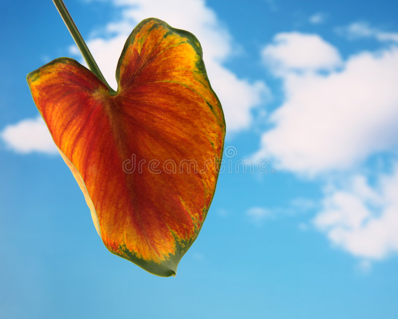 Calla lilly leaf stock photography