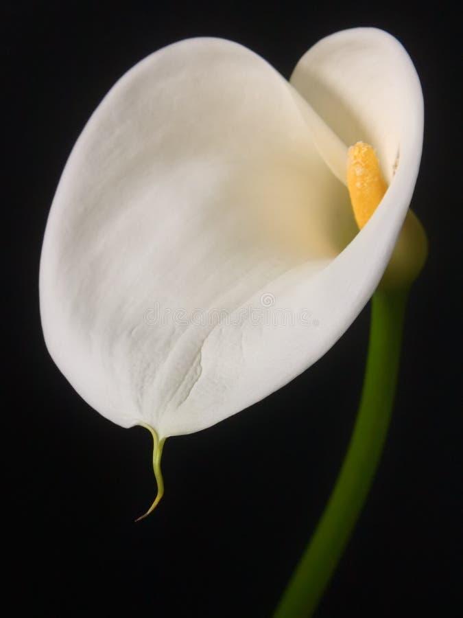 Calla lilly tegen zwarte achtergrond stock afbeeldingen