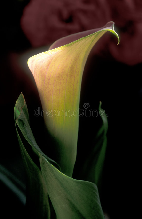 Calla Lilly, twee royalty-vrije stock afbeelding