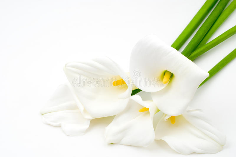 Download Calla lily stock image. Image of flowering, plant, beauty - 20558823