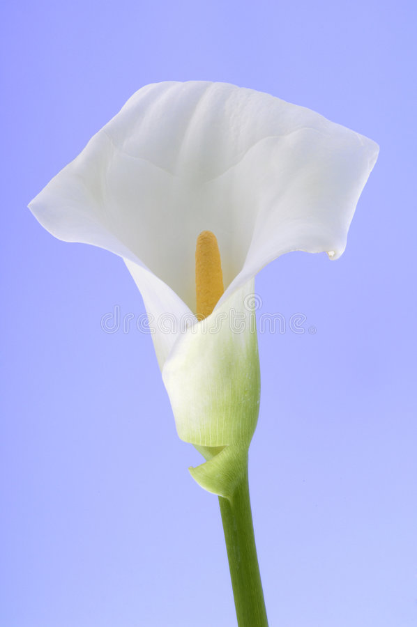 Free Calla Lily Royalty Free Stock Photography - 3973757