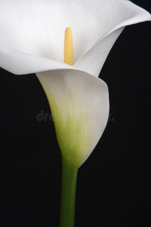 Download Calla Lily stock photo. Image of white, bulb, calla, stem - 639678