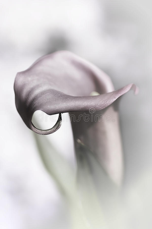 Download Calla Lily stock image. Image of bright, blossom, floral - 9832829