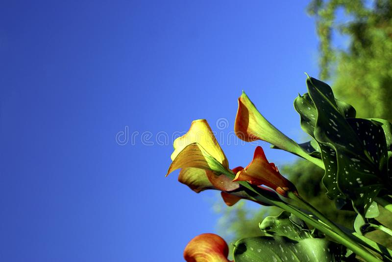 Calla Lily with blue sky stock images