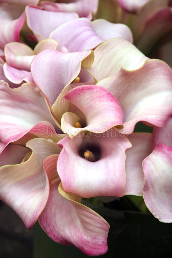 Calla lily bouquet royalty free stock images