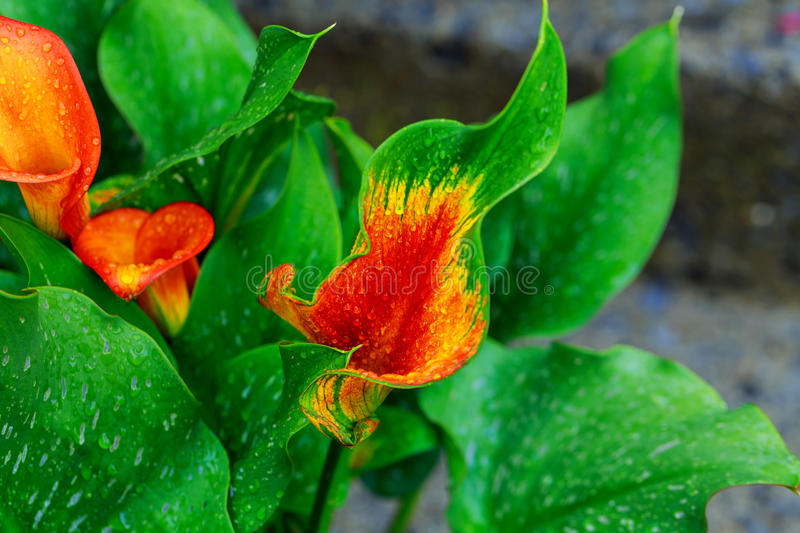 calla lily with drops orange calla lily partial leaf as ornament royalty free stock photo