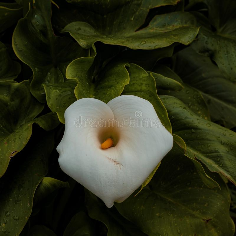 Calla lily flower plant in springtime. In the garden royalty free stock images