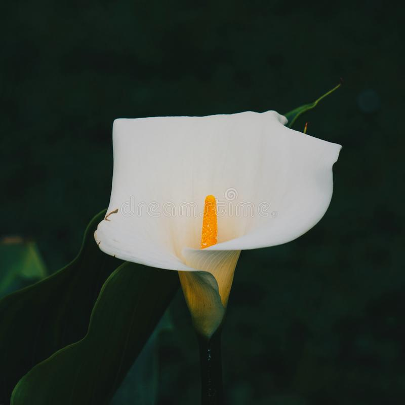 Calla lily flower plant in springtime stock images
