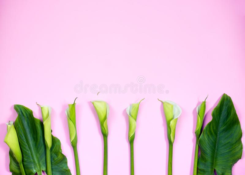Calla lily flowers flat lay stock photography