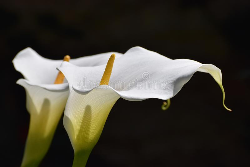 Calla lily flowers white symbolising peace and purity royalty free stock photo